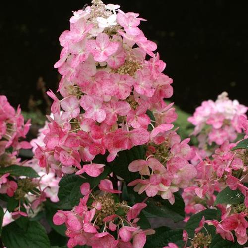Гортензия метельчатая Мэджикал Файр (Hydrangea paniculata Magical ...