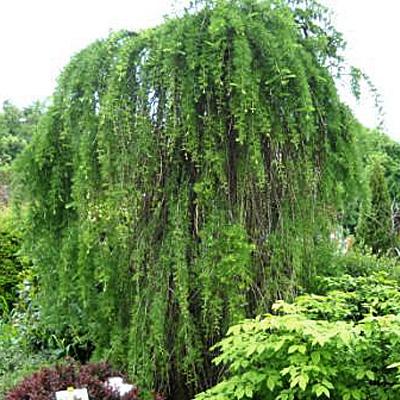 Лиственница европейская «Fastigiata» | Вечнозеленые кустарники ... | 400x400