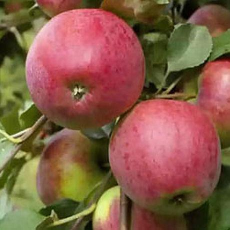 Яблоня Степная красавица,плодовые,деревья,яблоня,описание,саженцы,купить,посадка,уход,садовый  центр,яблони из питомника